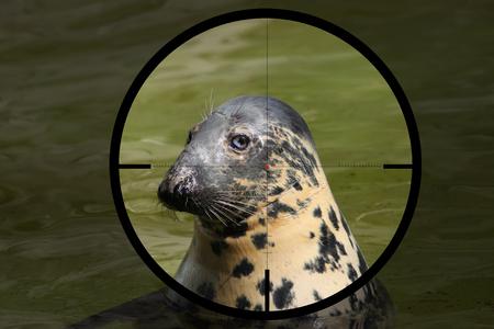 Baltic gray seal (Halichoerus grypus macrorhynchus) in the crosshair of the optical sight of the hunter 版權商用圖片