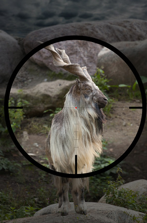 male Turkmenian markhor (Capra falconeri heptneri) in the crosshair of the optical sight of the hunter