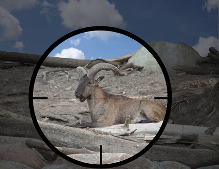 male East Caucasian Tur (Capra cylindricornis) in the crosshair of the optical sight of the hunter