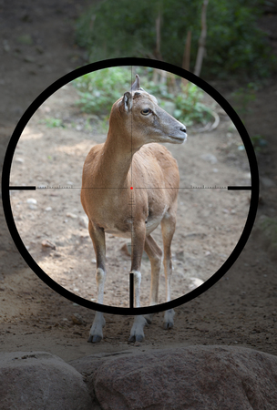 female wild sheep urial (Ovis vignei) in the crosshair of the optical sight of the hunter 版權商用圖片