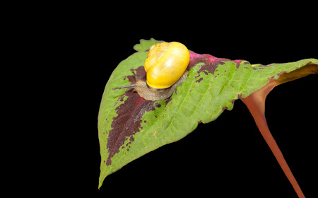 striped forest snail, Cepaea nemoralis crawling on the leaf of a plant