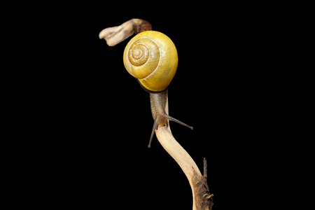 yellow forest snail, Cepaea nemoralis sits on the branch