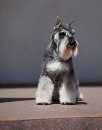 Beautiful Miniature Schnauzer Zwergschnauzer dog color pepper and salt 版權商用圖片