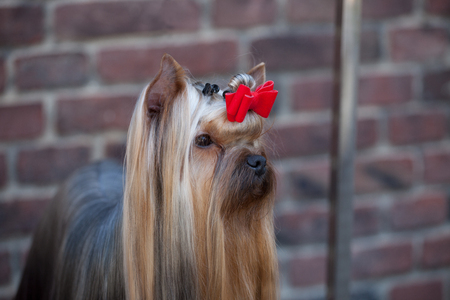 portrait of the nicest Yorkshire Terrier with a well-groomed long hair and show grooming