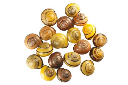 scattering of shells of forest snail Cepaea nemoralis on white background 版權商用圖片