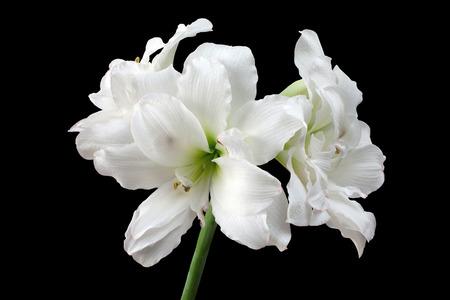 beautiful large white Amaryllis Alaska flower closeup on black background