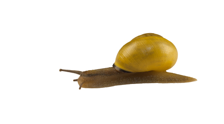 forest snail, Cepaea nemoralis on a white background