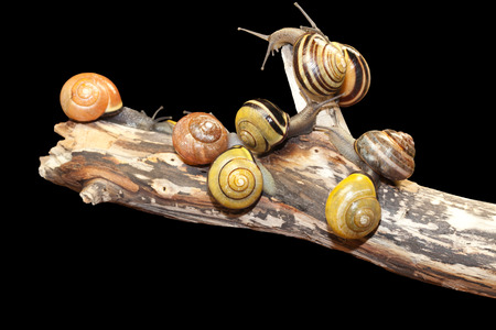 group forest snail, Cepaea nemoralis sits on the branch