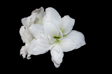 beautiful large white Amaryllis Alaska flower closeup on black background