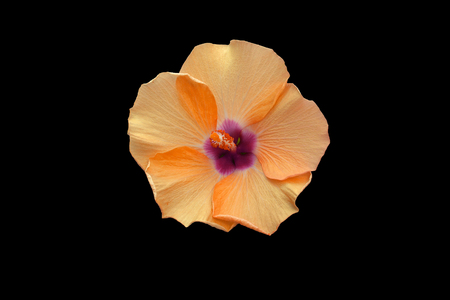beautiful orange hibiscus flower close up on black background