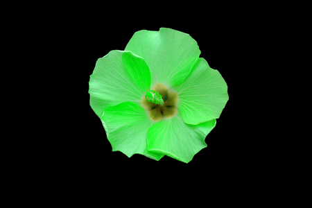 beautiful green hibiscus flower close up on black background Фото со стока
