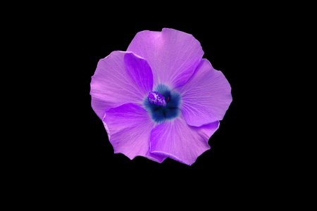 beautiful purple hibiscus flower close up on black background Фото со стока