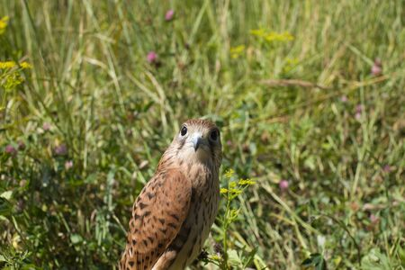 young Kestrel Falcon (Falco tinnunculus) closeup sits in the grass