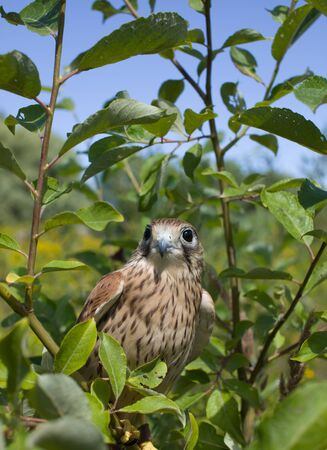 young Kestrel Falcon (Falco tinnunculus) closeup sits on a tree branch
