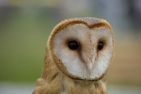 portrait of a young beautiful red owl barn owl (Tyto alba) close-up