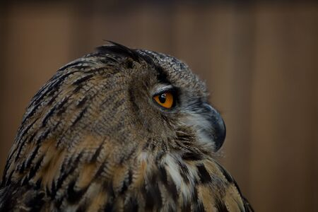 portrait of adult female eagle owl (bubo bubo) closeup