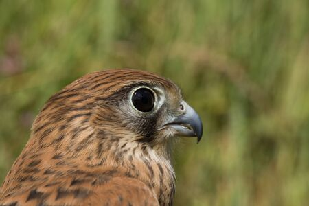 portrait of a young Kestrel Falcon (Falco tinnunculus) closeup Фото со стока