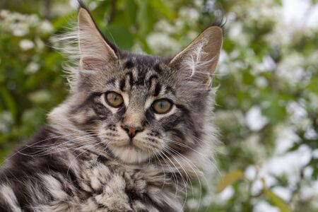 portrait of a kitten maine coon coloring mackerel tabby close up Imagens