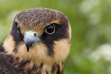 portrait of a young Eurasian hobby (Falco subbuteo) close-up