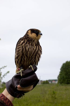 young hunting Eurasian hobby (Falco subbuteo) sits on a Falconer's glove