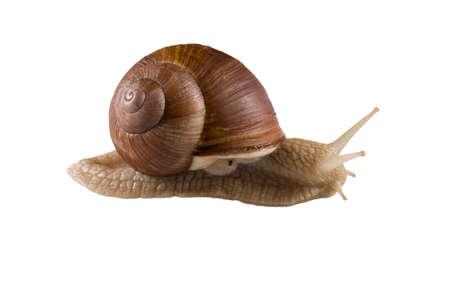 Helix pomatia grape snail on a white background