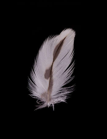 beautiful Falcon (Falco tinnunculus) feathers close up on a black background