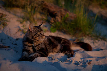 young cat of the breed maine coon lies on the sand at sunset