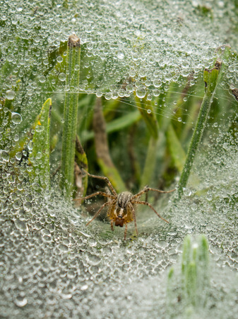 A grass spider, or funnel web spider, sits in web surrounded by jewels of morning dew.