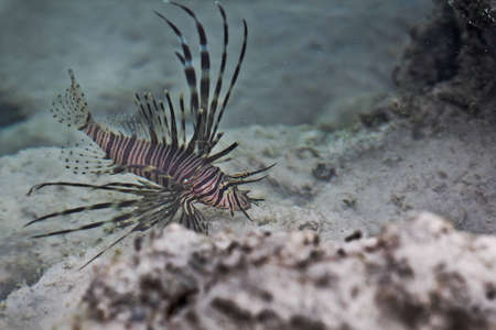 Lion Fish at Surin Island In Thailand Stock Photo - 12749510
