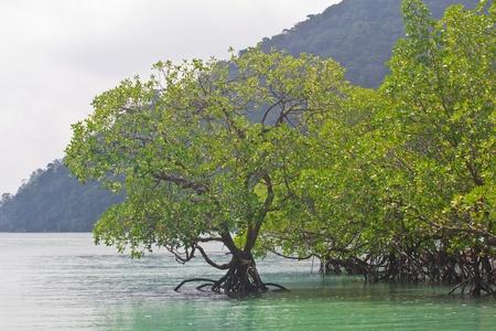 wetland conservation: Mangrove at Surin Island