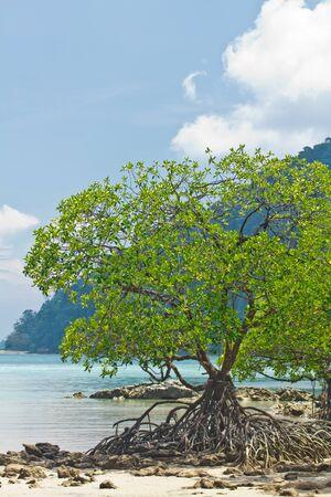 Mangrove at Surin Island