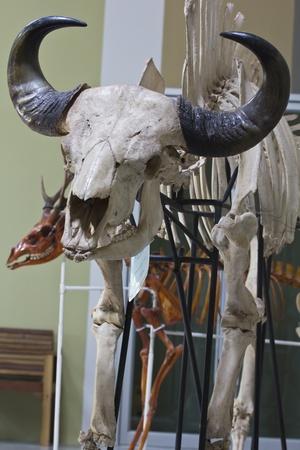 Indian Bison skull