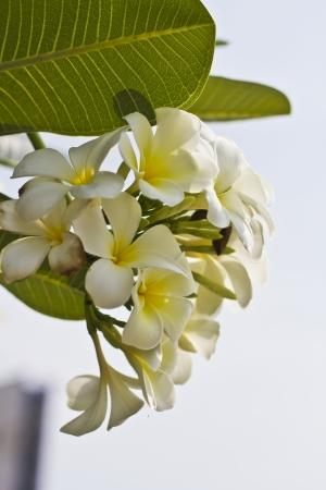White Plumeria Stock Photo - 13662265