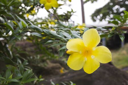 Yellow allamanda flower Stock Photo - 14001020
