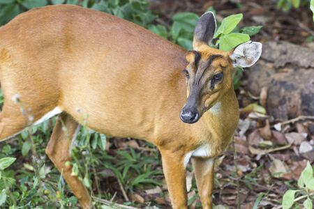 Deer in the forest of Khao Yai national park in Thailand Stock Photo