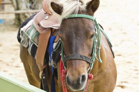 Horse on farm Chokchai in Thailand photo