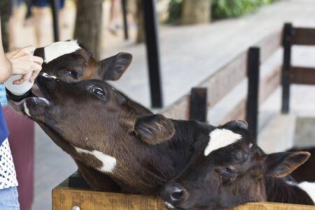 Calf feeding at Chokcha farm in Thailand Editorial