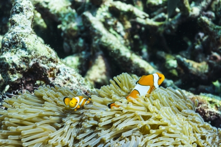 Anemonefish at Surin national park Stock Photo - 16822607