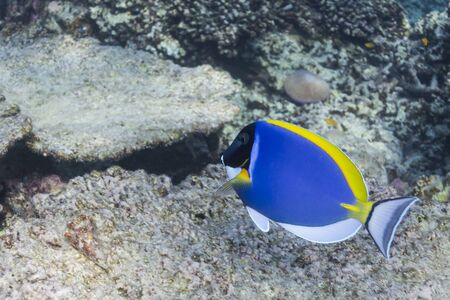 Powder blue tang at Surin national park Stock Photo - 16822587