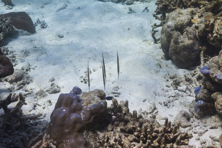Razorfish at Surin national park in Thailand Stock Photo - 16854016