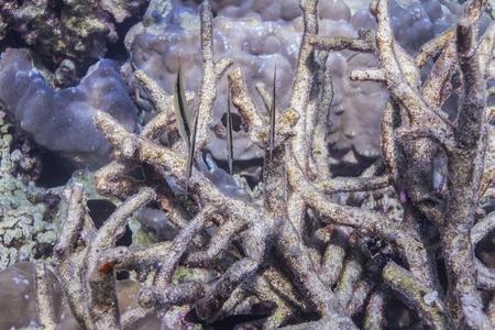 Razorfish at Surin national park in Thailand Stock Photo - 16854020