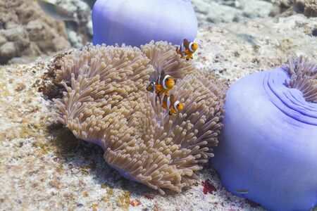 Anemonefish at Surin national park in Thailand Stock Photo - 16854009