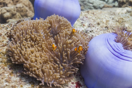 Anemonefish at Surin national park in Thailand Stock Photo - 16854008