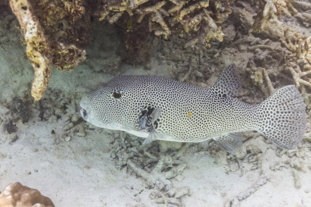 pufferfish: Starry pufferfish at Surin national park