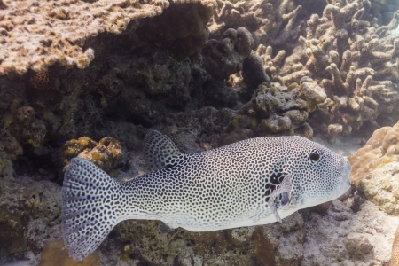 arothron: Starry pufferfish at Surin national park