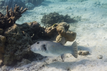 Starry pufferfish at Surin national park photo