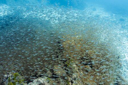 School of cardinalfish at Surin national park Stock Photo - 16881593