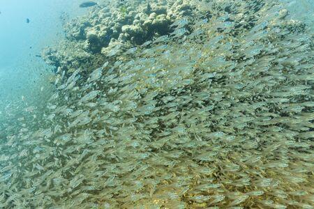School of cardinalfish at Surin national park Stock Photo - 16881623