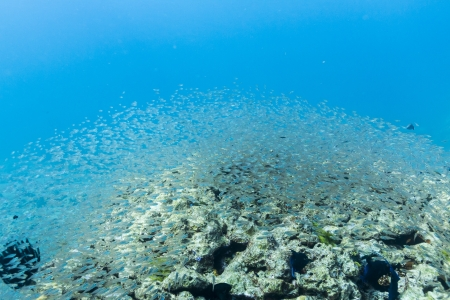 School of cardinalfish at Surin national park Stock Photo - 16881603