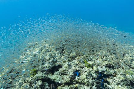 School of cardinalfish at Surin national park photo